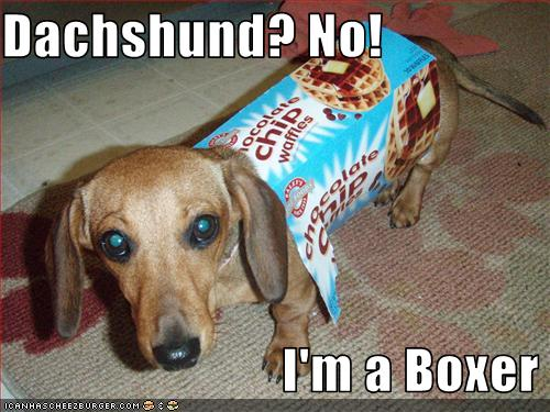 no-dachshund-but-boxer.jpg